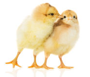 Two chicks on white background Royalty Free Stock Images