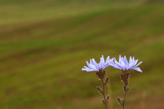 Two chicory Royalty Free Stock Photos