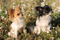 Two chihuahua Stock Photography