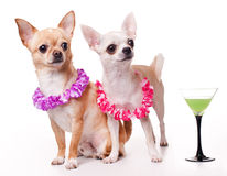 Two chihuahua Stock Image