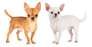 Two Chihuahua Stock Images