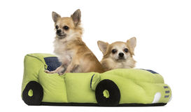 Two Chihuahua in a car shaped bed, isolated Stock Photography