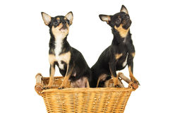 Two chihuahua dog sitting Stock Images