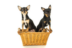 Two chihuahua dog sitting in a basket. Isolated Stock Photo