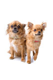 Two chihuahua dogs. One sitting and one standing, isolated on a white background Stock Photos