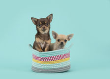 Two chihuahua dogs in a colored basket on a turquoise blue background Royalty Free Stock Photo