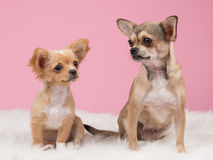 Two chihuahua dogs Stock Photography