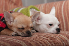 Two Chihuahua dogs dressed with pullovers resting on sofa Royalty Free Stock Photos