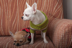 Two Chihuahua dogs dressed with pullovers resting on sofa Royalty Free Stock Images