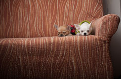 Two Chihuahua dogs dressed with pullovers resting on sofa Stock Photo
