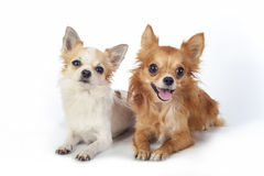 Two chihuahua   dogs looking at camera Stock Photography