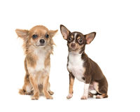 Two chihuahua dogs one long and one short haired Stock Photo