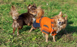 Two chihuahua dogs playing on lawn Stock Photos