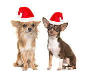 Two chihuahua dogs with santa`s hat Royalty Free Stock Photo