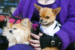Two chihuahua dogs. Royalty Free Stock Photo