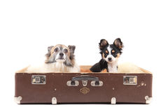 Two chihuahua dogs in the suitcase Royalty Free Stock Photo
