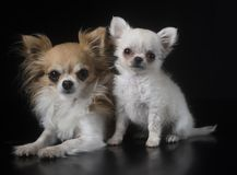 Adult and puppy chihuahua in studio Stock Images