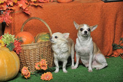 Two chihuahua royalty free stock photos