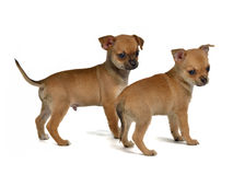Two chihuahua puppies Royalty Free Stock Photography