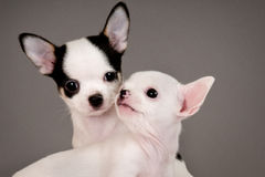 Two Chihuahua puppies. Royalty Free Stock Images