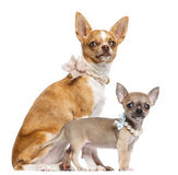 Two Chihuahua puppies, 4 and 7 months old Royalty Free Stock Image