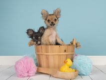 Chihuahua puppies in a bath basket in a bathroom with one puppy pushing in royalty free stock photo