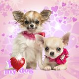 Two Chihuahua puppies with bow collars, on pink heart background. Two Chihuahua puppies with bow collars, on heart background royalty free stock photos