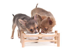 Two chihuahua puppies eating/ drinking Stock Image