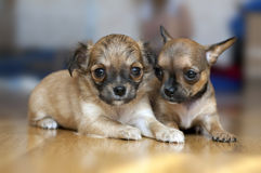 Two Chihuahua puppies on a floor Royalty Free Stock Photo