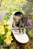 Two Chihuahua Puppies in a Mail Box Royalty Free Stock Photos
