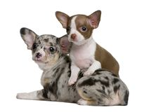 Two Chihuahua puppies, one is chocolate and white and the other one is blue merle, 8 weeks old. In front of white background stock photos