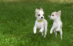 Two chihuahua puppies running synchronously Royalty Free Stock Photos