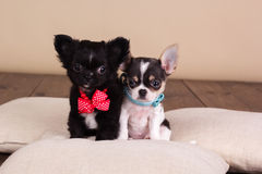 Two chihuahua puppies are wearing dog-collar Royalty Free Stock Photo