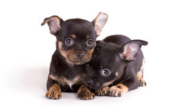 Two chihuahua puppies on white background Stock Photos