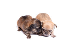 Two chihuahua puppy Stock Images