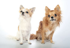 Two chihuahua sitting and looking up Royalty Free Stock Images