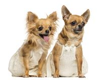 Two Chihuahua wearing dresses, 4 and 6 years old. Isolated on white stock photos