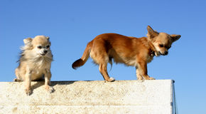 Two chihuahuas. Beautiful two purebred chihuahuas: cute miniature dog Royalty Free Stock Photography