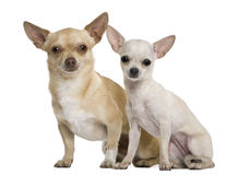 Two chihuahuas, 2 years and 7 months old Royalty Free Stock Photography