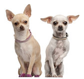 Two Chihuahuas, 2 years old and 11 months old Royalty Free Stock Photo