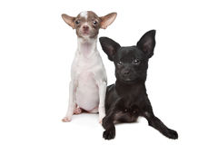 Two Chihuahuas Royalty Free Stock Image