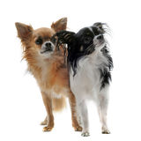 Two chihuahuas Stock Photos