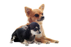 Two chihuahuas Royalty Free Stock Photo