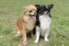 Two chihuahuas stock image