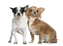 Two Chihuahuas, 4 years old and  18 months old Stock Photos