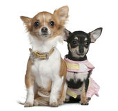 Two Chihuahuas, 6 months and 1 year old, sitting. In front of white background stock photos