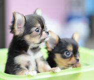 Two chihuahuas in a basket Stock Photography