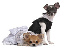 Two Chihuahuas dressed-up Royalty Free Stock Photography
