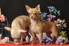 Two Chihuahuas and flowers in the studio Stock Photography