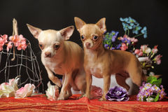 Two Chihuahuas and flowers in the studio Royalty Free Stock Photos